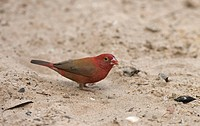 Red_billed Firefinch Lagonosticta senegala adult male, feeding on seeds, standing on sand, Senegal