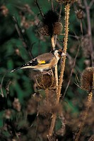 Goldfinch Carduelis carduelis On teasle _ Sidlesham, Sussex _ October S