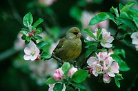 Greenfinch Carduelis chloris Male amongst apple blossom