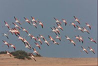Greater Flamingo Phoenicopterus roseus flock, in flight, coming in to land, Morocco, may