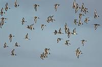Black_tailed Godwit Limosa limosa flock in flight, over coastal grazing marsh, Norfolk, England, december