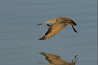 Marbled Godwit Limosa fedoa adult, in flight over water, Florida, U S A