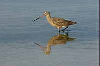 Marbled Godwit Limosa fedoa adult, wading in shallow water, Florida, U S A