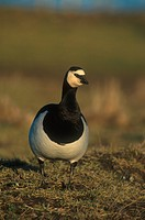 Barnacle Goose Branta leucopsis Close up _ Abberton, Norfolk S