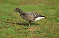 Brent Goose Branta bernicla 1st winter / walking on grass / Norfolk / October