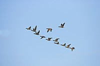 Brent Goose Branta bernicla flock, in flight, v formation, Norfolk, England