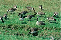 Canada Goose Branta canadensis group feeding on grass