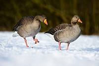 Greylag Goose Anser anser adult pair, walking on snow, Golden Acre Park Nature Reserve, Leeds, West Yorkshire, England, february