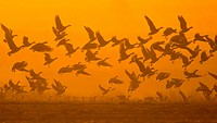 Pink_footed Goose Anser brachyrhynchus flock, in flight, taking off, silhouetted in dawn sunlight, The Wash, Norfolk, England, january
