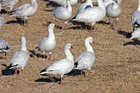 Ross´s Goose Anser rossii four adults, standing amongst Snow Goose Anser caerulescens flock, Bosque del Apache, New Mexico, U S A