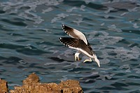 Kelp Gull Larus dominicanus vetula adult in flight, landing on rock, Hermanus, Cape, South Africa