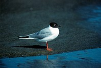 Bonaparte's Gull Larus philadelphia Standing on sand summer / Maine, USA