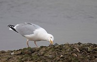 Herring Gull Larus argentatus adult, feeding on mussel, Norfolk, England