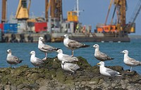 Herring Gull Larus argentatus adult and immatures, group resting on rock, Lerwick Harbour, Shetland Islands, Scotland, june