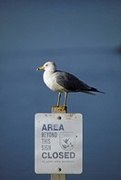 Ring_billed Gull Larus delawarensis America