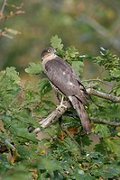 Eurasian Sparrowhawk Accipiter nisus female in oak tree, Avon, England