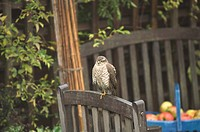 Eurasian Sparrowhawk Accipiter nisus immature, perched on garden furniture, Norfolk, England