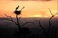 Jabiru Jabiru mycteria adult, standing in nest, silhouetted at sunrise, Pantanal, Mato Grosso, Brazil