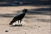Jackdaw Corvus monedula soemmerringii adult, feeding on plastic bag in road, Almaty Province, Kazakhstan, june