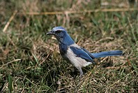 Scrub Jay Aphelocoma coerulescens standing on grass