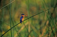 Malachite Kingfisher Alcedo cristata Perched on reed / Kruger NP South Africa