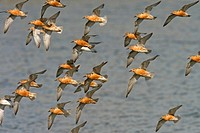 Knot Calidris canutus flock in flight, high tide roost, Snettisham, Norfolk, England
