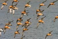 Knot Calidris canutus flock in flight, high tide roost, Snettisham, Norfolk, England