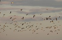 Northern Lapwing Vanellus vanellus Flock in flight _ Elmley Marshes National Nature Reserve, Kent, England _ Winter