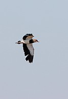 Southern Lapwing Vanellus chilensis adult, in flight, calling, Buenos Aires Province, Argentina, january