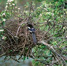 Common Magpie Pica pica adult, at domed nest, in apple tree with blossom, England, spring