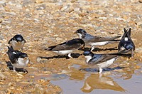 House Martin Delichon urbica six adults, collecting mud for nest building, Norfolk, England, may