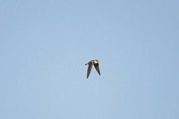 Sand Martin Riparia riparia adult, in flight, Spain