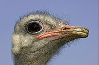 Ostrich Struthio camelus adult male, close_up of head, farmed, Penrith, Cumbria, England