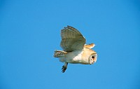 Barn Owl Tyto alba In flight _ Norfolk, England _ March