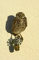 Burrowing Owl Speotyto cunicularia adult, perched on tap, Florida, U S A