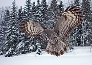 Great Grey Owl Strix nebulosa adult, in flight, hunting over snow covered field, Finland, march