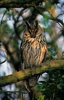 Long_eared Owl Asio otus Perched on branch _ Elmley RSPB Reserve, Kent