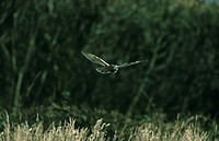 Long_eared Owl Asio otus Daytime hunting _ flying low _ Norfolk _ October