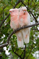 Major Mitchell´s Cockatoo Cacatua leadbeateri adult pair, perched together in tree, Southern Queensland, Australia, january