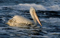 Dalmatian Pelican Pelecanus crispus adult, winter plumage, swimming, Evros Delta, Greece, february