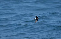 Wilson´s Storm Petrel Oceanites oceanicus Flying low over sea / New England, U S A