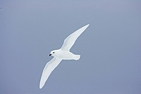 Snow Petrel Pagodroma nivea adult, in flight, Antarctica