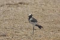 Blacksmith Plover Vanellus armatus, Standing _ Tanzania
