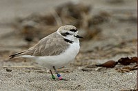 Kentish Plover Charadrius alexandrinus adult, rings on legs, Monterey, California, U S A