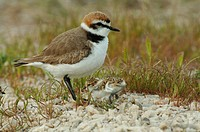 Kentish Plover Charadrius alexandrinus adult male with chick, Lesvos, Greece, april
