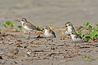 Lesser Sand Plover Charadrius mongolus flock, winter plumage, Morjim Beach, Goa, India, november