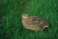 Japanese Quail Coturnis japonica Female on grass FL010313 S