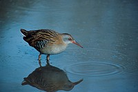 Water Rail Rallus aquaticus Feeding in shallow water