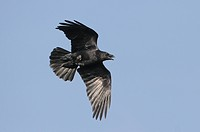 Raven Corvus corax adult in flight, Wales
