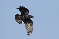 Raven Corvus corax adult in flight, Wales